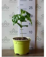 Սածիլային ծաղկաման կանաչ