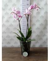 """Кашпо для орхидей """"Тиса"""", дымка"""