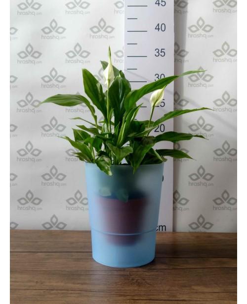 Ծաղկաման (կաշպո) խոլորձի համար Coubi Orchid A
