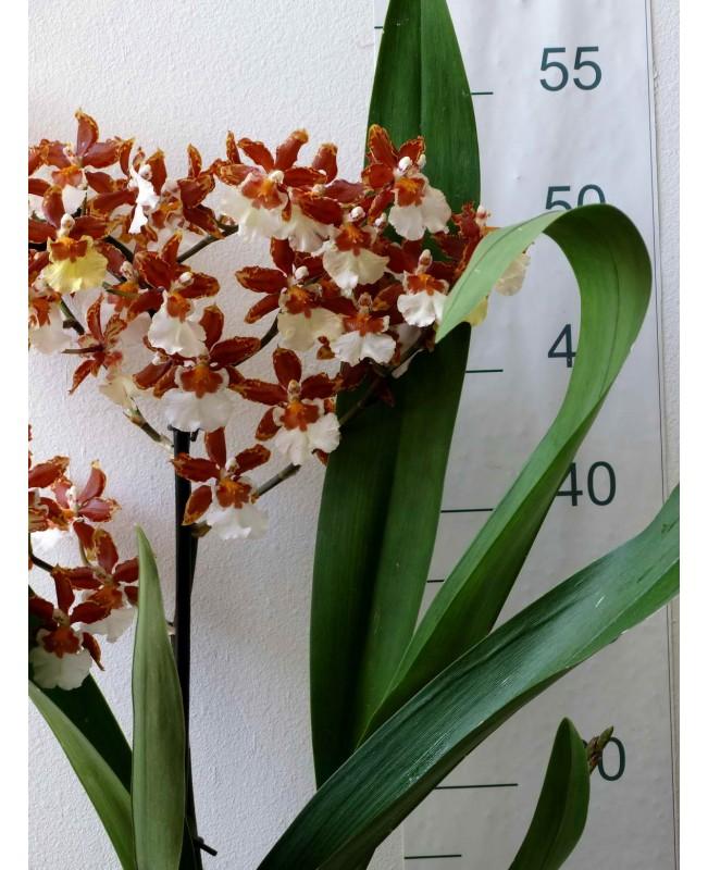 Орхидея Камбрия каскад, 50 см