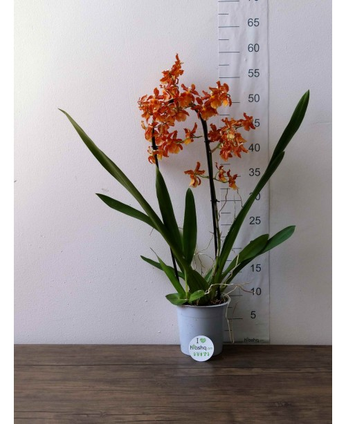 Орхидея Камбрия каска...