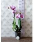 Орхидея Фаленопсис Cleveland, 2 цветонос, 50 см