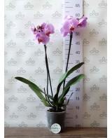 Орхидея Фаленопсис Babylon Pretty, 2 ст., 50 см