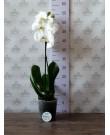 Орхидея Фаленопсис Cambridge ,  1ст., 60 см + доставка в подарок