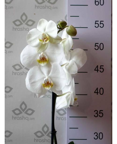 Орхидея Фаленопсис Cambridge, 1ст., 50 см