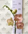 Орхидея Фаленопсис Ravello,  1ст., 60 см