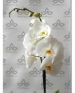 Орхидея Фаленопсис Cambridge ,  1ст., 60 см + Подарок кашпо