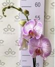 Орхидея Фаленопсис Warsaw,  1ст., 60 см