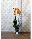 Орхидея Фаленопсис KV Beauty, + ДОСТАВКА в Подарок, 2 ст., 60 см