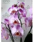 Орхидея Фаленопсис Babilon Pretty, 3 ст., 60 см