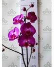 Орхидея Фаленопсис Kansas City,  1ст., 60 см