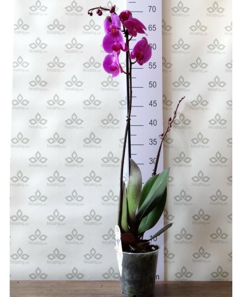Орхидея Фаленопсис Стандарт Pasadena, 1 ст., 70 см + ДОСТАВКА в Подарок