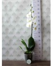 Орхидея Фаленопсис Cambridge, 1 ст., 70 см