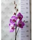 Орхидея Фаленопсис Melody, 1 ст., 60 см
