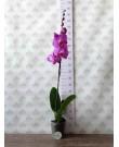 Орхидея Фаленопсис Memphis, 1 ст., 70 см