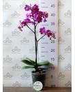 Орхидея Фаленопсис мини Little Pinky, 1 ст., 40 см