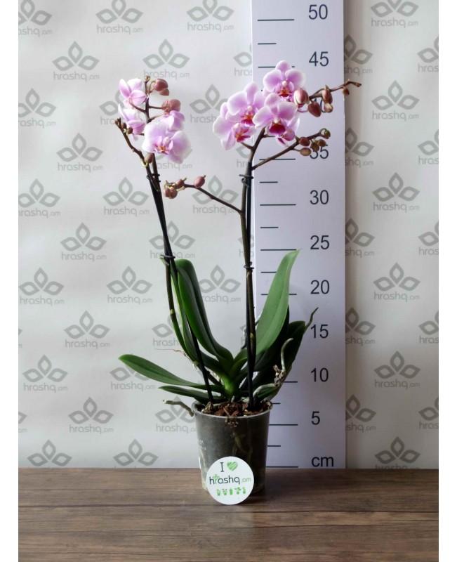 Орхидея Фаленопсис Pinky Dream, 40 см