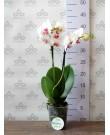 Орхидея Фаленопсис Sargas, мини, 2ст., 40-50 см