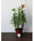 Азиатская лилия, 45см
