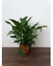 Спатифиллум Перл Купидо C, 35 см