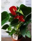Антуриум Сакссес Ред 45 см