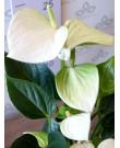 Անթուրիում  Անդրե Չեմպիոն, սպիտակ 40 սմ