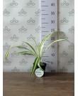 Хлорофитум, 15 см