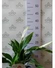 Спатифиллум Перл Купидо B, 35 см