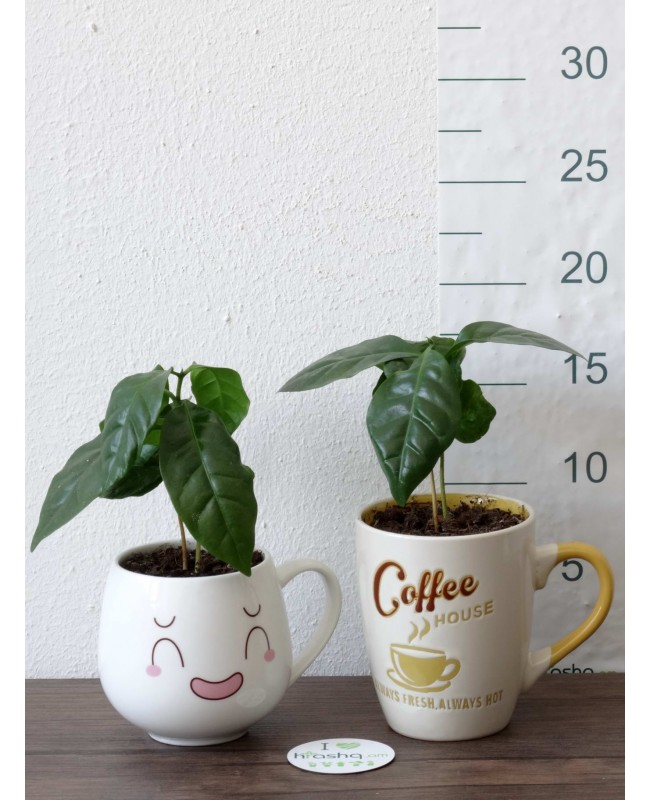 Սուրճ Արաբիկա կերամիկական բաժակով, 17 սմ