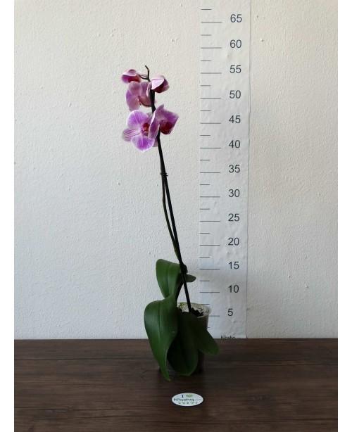 Орхидея Фаленопсис F, 1 ст., 60 см